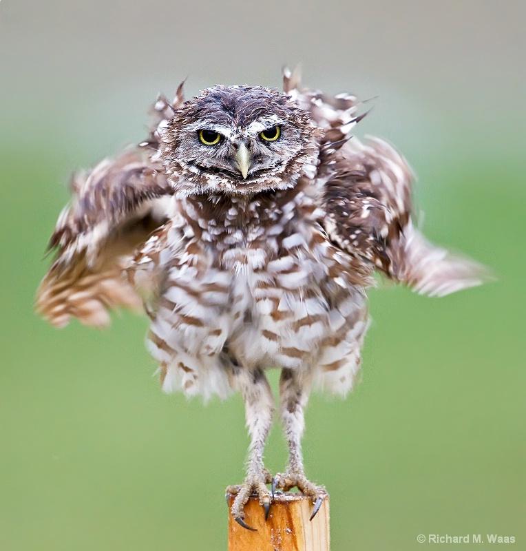 Hula Owl