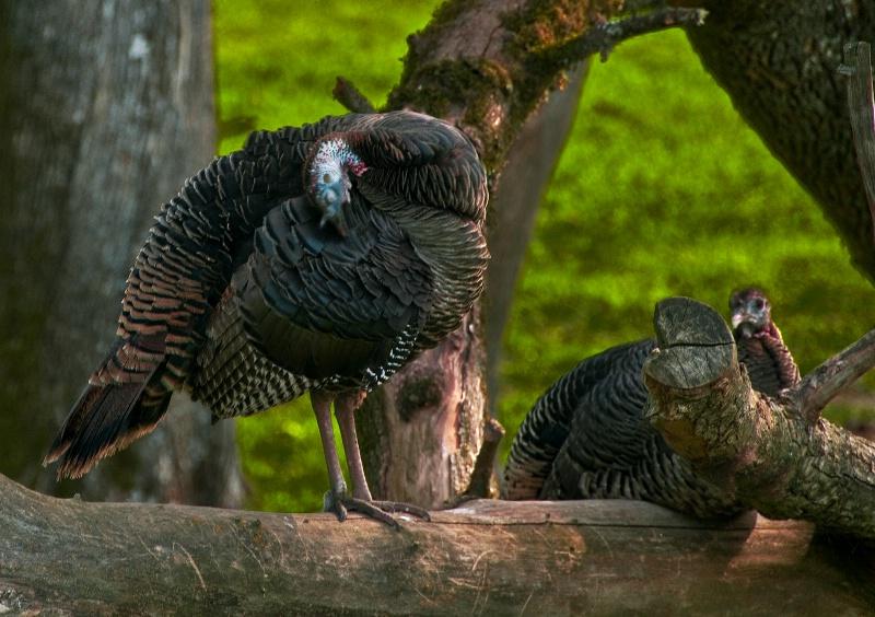 Wild Turkey Hen, Wildlife Safari-Oregon