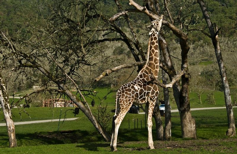 Giraffe Scratching Post, Wildlife Safari-OR