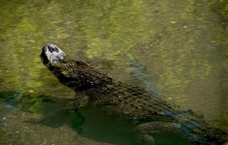 American Alligato, Wildlife Safari-OR