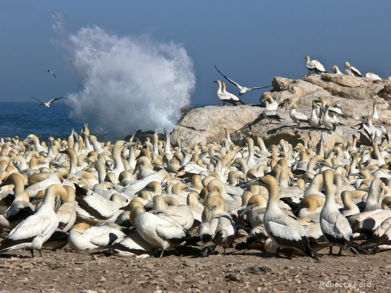 Gannets in South Africa
