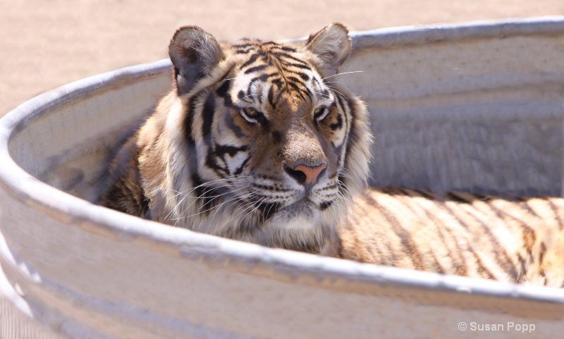 Tiger in the tank