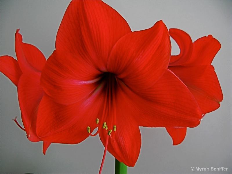 Scarlet Amaryllis