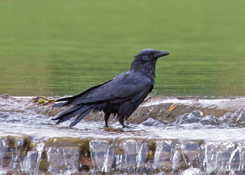 bath time for crow