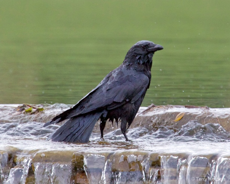 bath time for crow