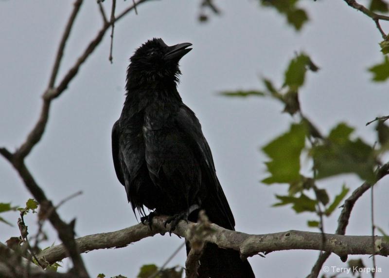 Crow after bath
