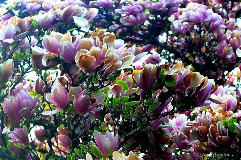 Spring beauties 1
