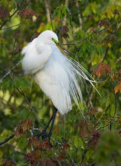 Egret, Magnolia Gardens Audubon Swamp
