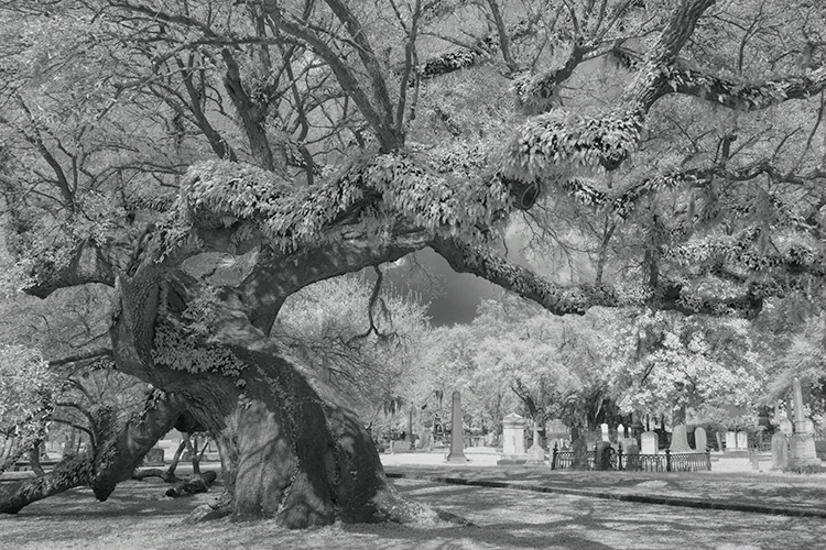 Live Oak Infra Red 7516, Magnolia Cemetery
