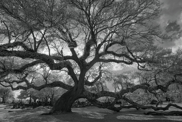 Live Oak Infra Red 7539, Magnolia Cemetery