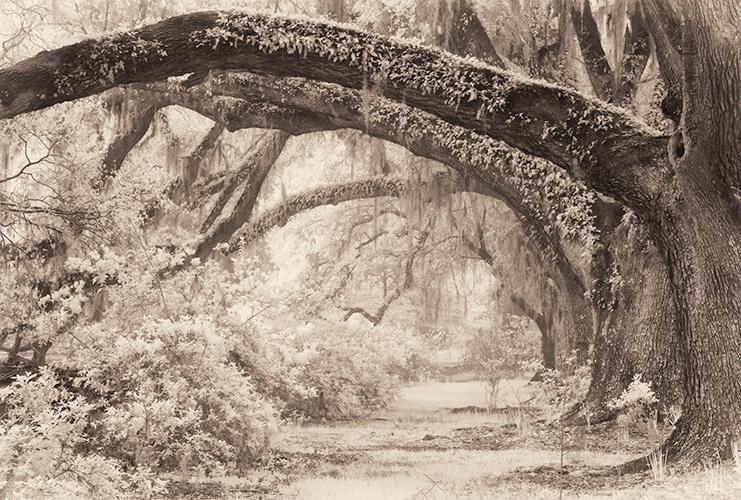 Oak Lane Infra Red, Magnolia Gardens