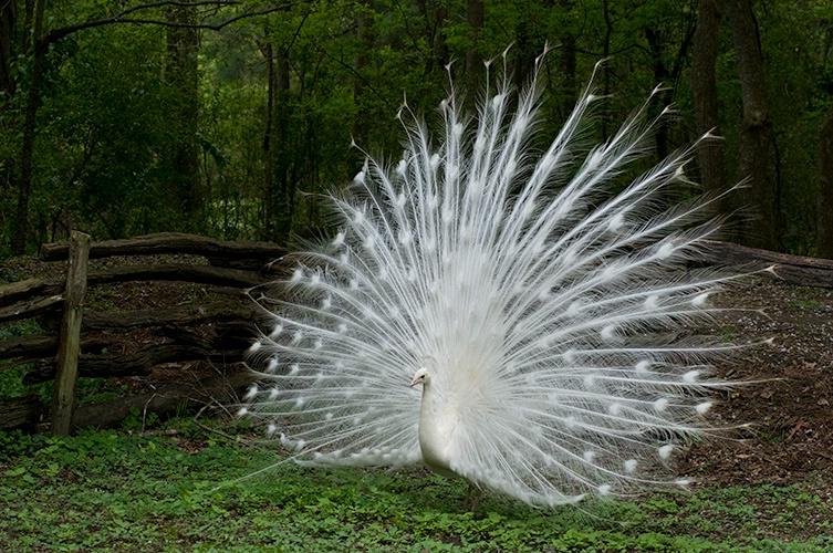 White Peacock, Magnolia Gardens