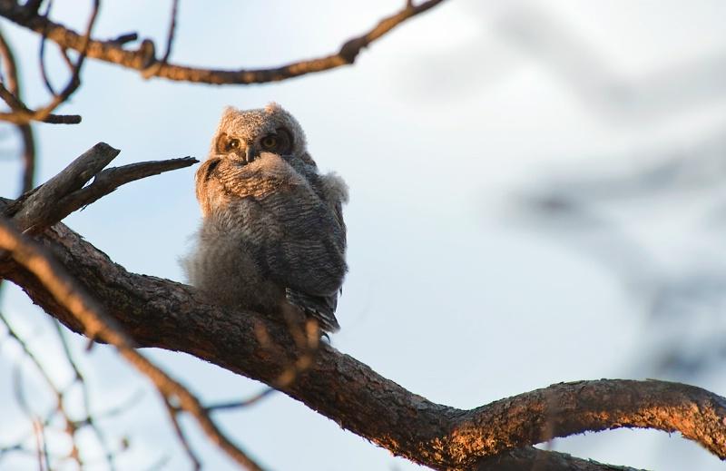 Baby Horned Owl