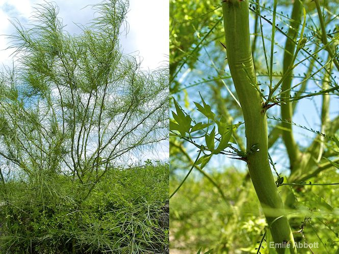 Going Green (Mexican Palo Verde)