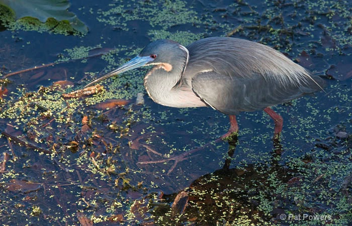 Tricolored Heron on the Hunt