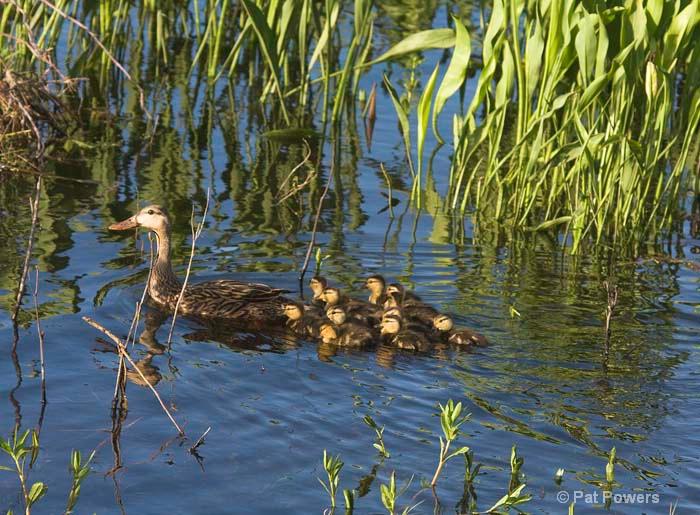Momma Mallard with Babies
