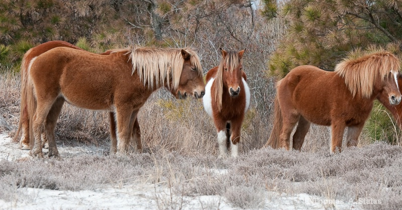tom statas assateague ponies 2