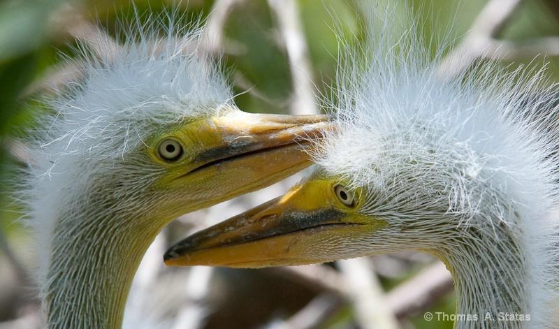 tom statas great white heron c