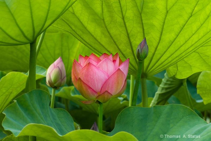 tom statas lotus plant life