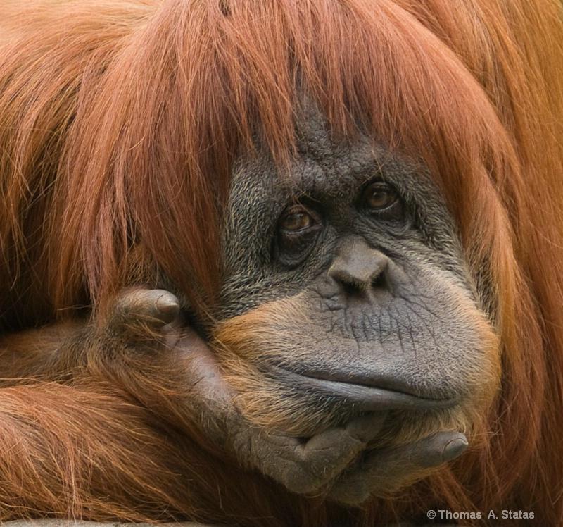 tom statas orangutan zoos   aq
