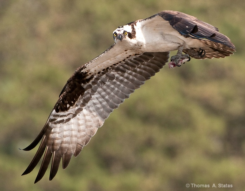 tom statas osprey birds