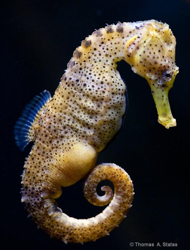 tom statas seahorse aquarium