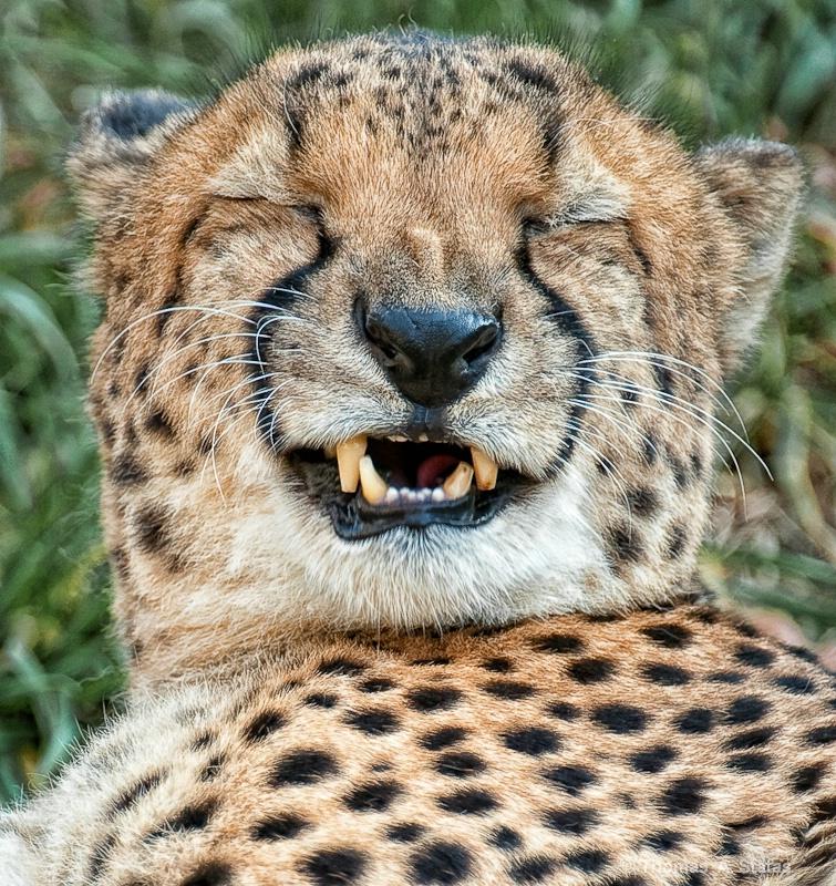 tom statas smiling cheetah ani
