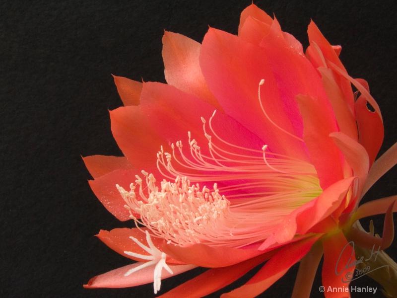 Red cactus 1806