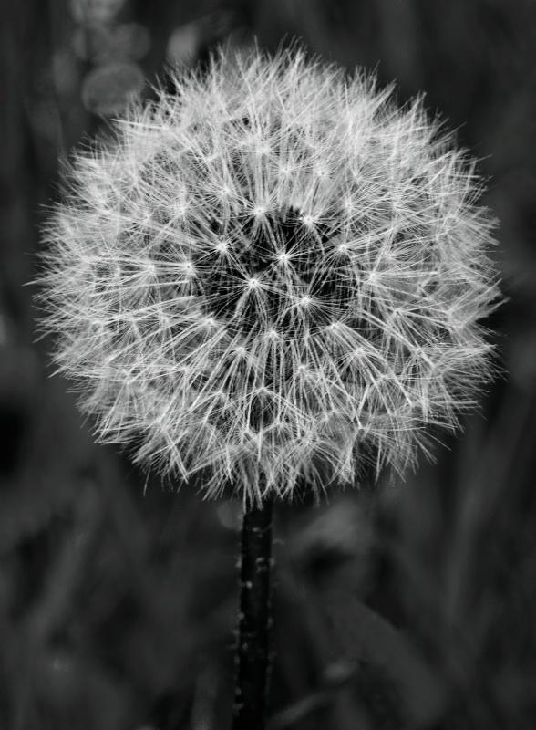 Seed Dandy