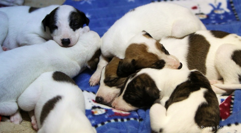 A Puppy pile