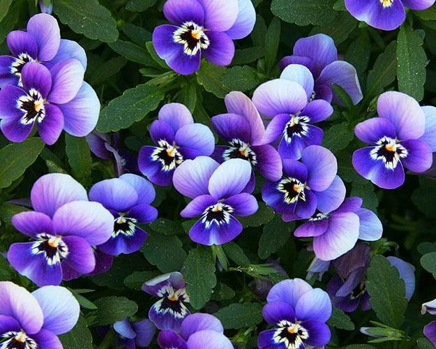 purple and white 45