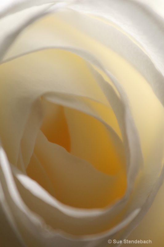 Yellow Rose I