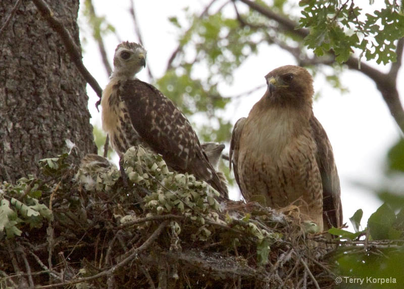 Red Shouldered Hawk with infants