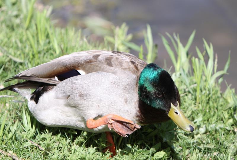 Duckesthetics