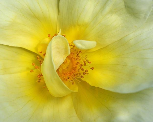 yellow rose 12