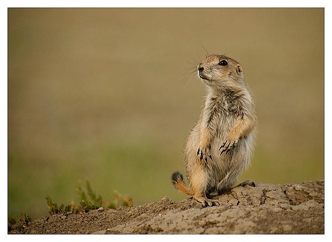 Prairie Dog, Grasslands NP