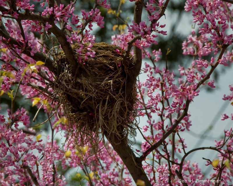 Bird's nest among the Red Bud blossoms