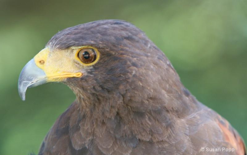 Profile Harris Hawk