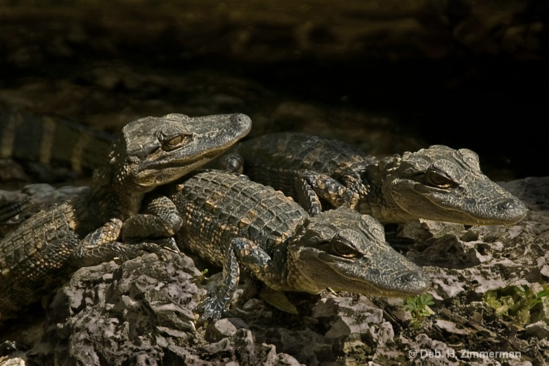 Recharging Baby Gators