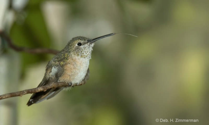 Young Broadtail hummer tasting the air