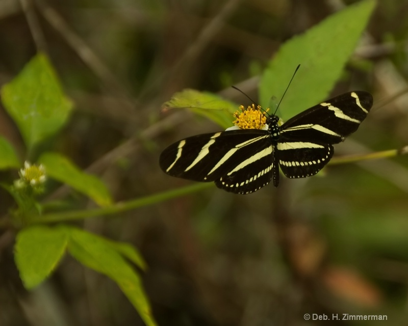Zebra butterfly in the Loxahatchee