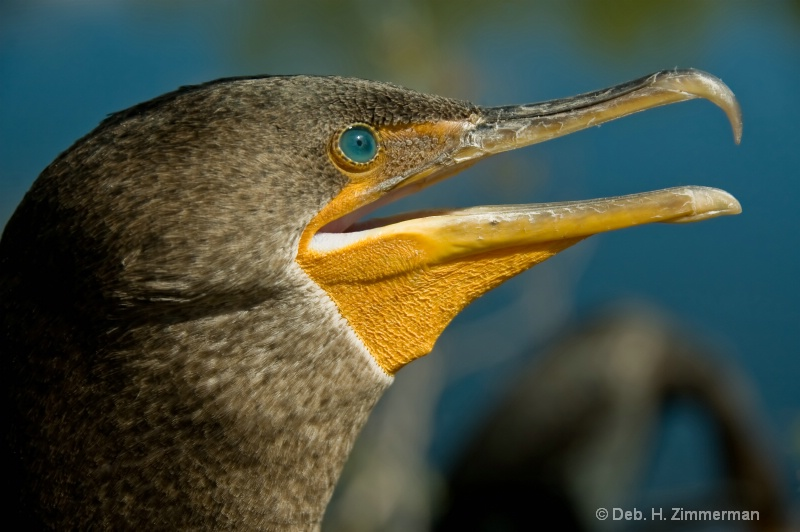 Head shot of a Double Crested Cormorant