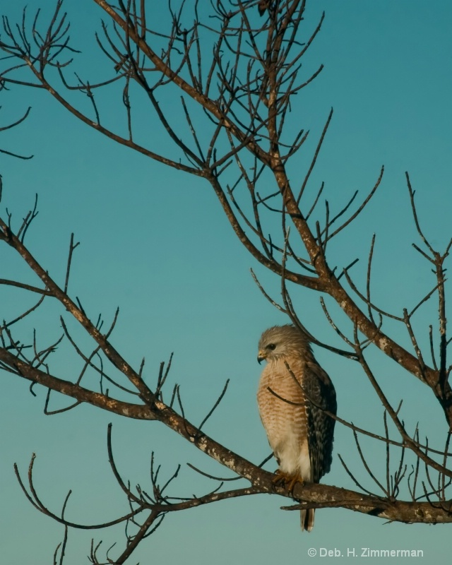 Red shouldered Hawk Looking for Breakfast