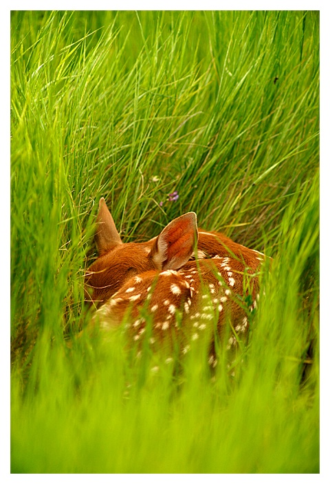 Fawn in Grass, Ross Creek Natural Area