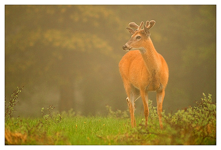 Whitetailed Buck in Morning Fog, Cypress Hills SK