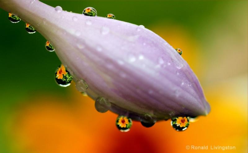 Hosta Drops
