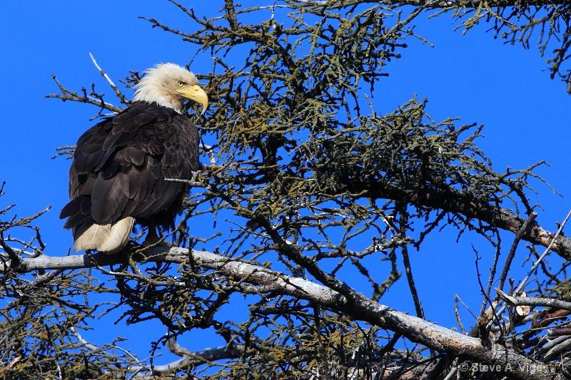 100 0822-homer-eagle-06-ss