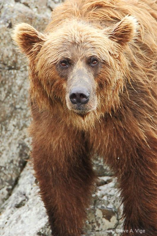 163j0368-homer-katmai np bears