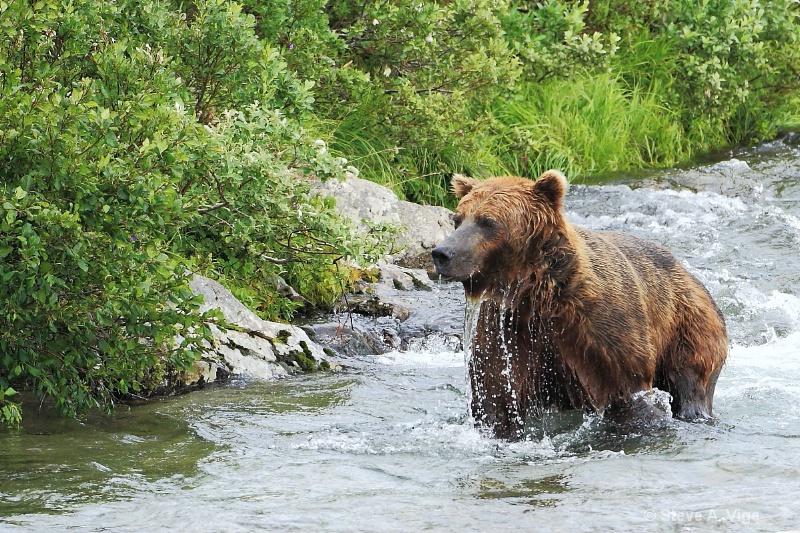 163j0566-homer-katmai np bears