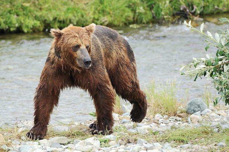 163j0571-homer-katmai np bears